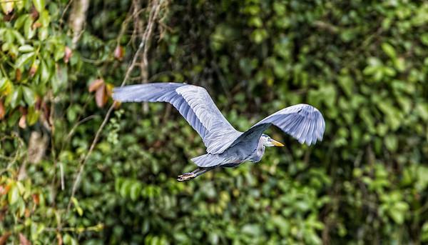 Guatemala; Rio Dulce Geroge; Great Blue Heron (ardea Herodias)