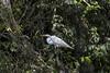 Guatemala; Rio Dulce Geroge; Great Egret (Casmerodius Albus)