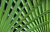Belize; Belize City; Bacab Eco Park; Travelers Palm Tree (Ravenala madagascariensis)