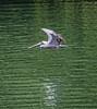 Guatemala; Rio Dulce Gorge;  Brown Pelican (Pelecanus occidentalis)