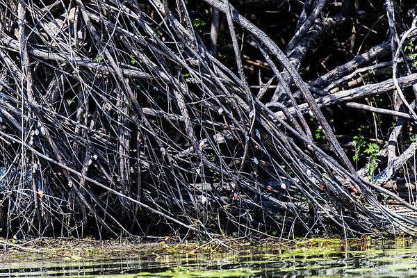 Crooked Tree Wildlife Sanctuary; Belize; Belize City;Apple snail eggs