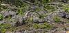 Crooked Tree Wildlife Sanctuary; Belize; Belize City; Spiny Tail Iguine (Tensauria similis)