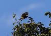 Morning bird watching on the  Chaconmachaca River; Roadside Hawk (Buteo magnirostris)