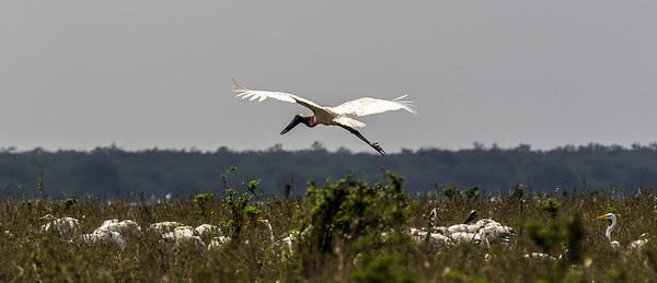 Crooked Tree Wildlife Sanctuary; Birds Eye View Lodge, Belize; Jabiru ( Jabiru mycteria)