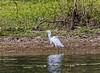 Belize;  Crooked Tree Wildlife Sanctuary; Snowy Egret(Egretta thula)