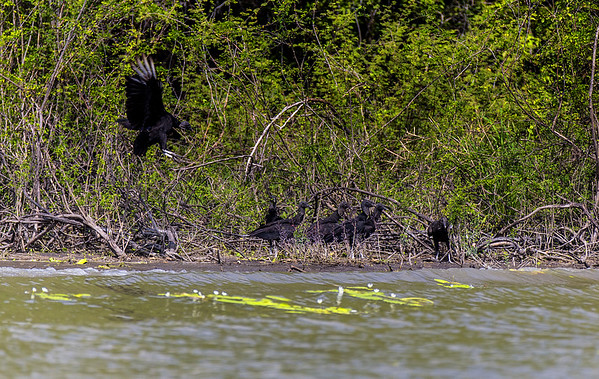Crooked Tree Wildlife Sanctuary; Black Vulture (Coragyps atratus); Belize; Belize City