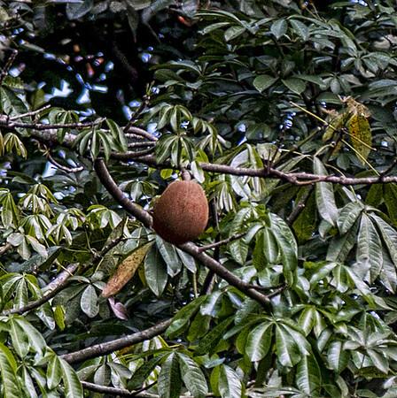 Guatemala; Rio Dulce; Casa Guatemala; Pachira Aquatica Tree (Pachira aquatica)