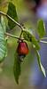 Roatan; Handuras; Sights of Roatan; Cashew Tree (Anacardium occidentale)