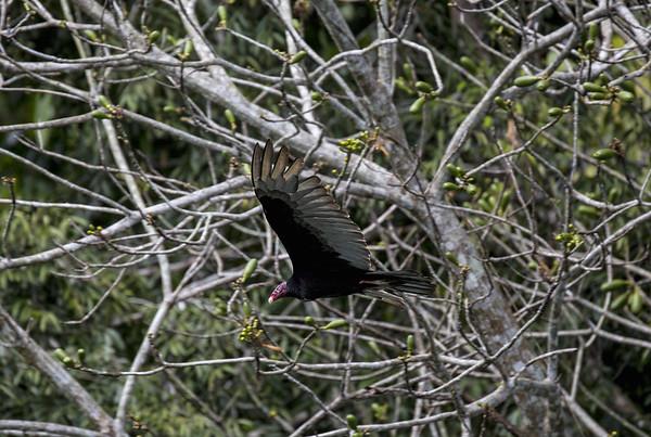 Guatemala; Rio Dulce Geroge; Turkey Vulture (Cathartes aura)