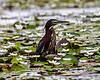Crooked Tree Wildlife Sanctuary; Birds Eye View Lodge, Belize; Green Heron ( Butorides virescens)