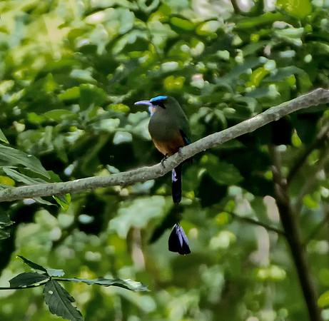 Guatemala; Quirigua Mayan Ruins; Turquoise-Browed Motmot (Momoto Corbatinegro Eumomomota superciliosa)