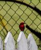 Crooked Tree Wildlife Sanctuary; Birds Eye View Lodge, Belize; Vermilion Flycatcher (Chloroceryle aenea )