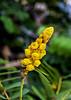 Belize; Placencia;  Candle Bush(Senna alata)