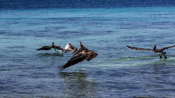 Belize; Laughingbird Caye National Park;  Brown Pelican (Pelecanus occidentalis);