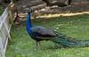 Roatan; Fantasy Island Beach Resort Dive & Marina; Handuras;  Peacock Peafowl (Pavo cristatus)