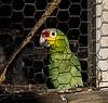 Roatan; Fantasy Island Beach Resort Dive & Marina; Handuras;Red-lored Amazon Parrot(Amazona autumnalis autumnalis)
