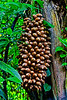 Cohane Palm Nuts