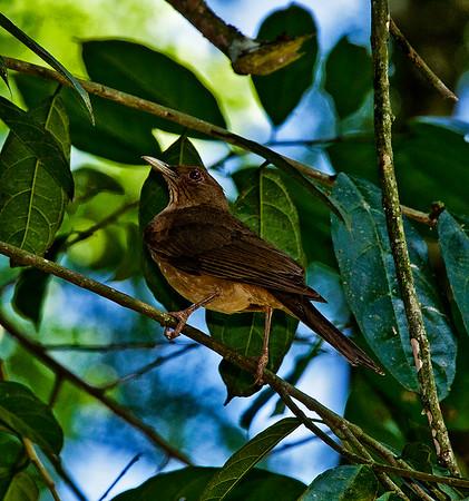 Clay Colored Robin