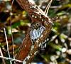 Ferruginous Piygny Owl Female