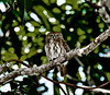 Ferruginous Piygny Owl Male