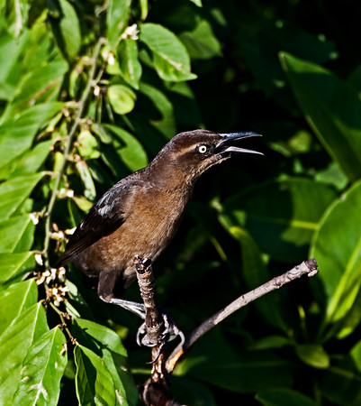 Great Tail Grackle