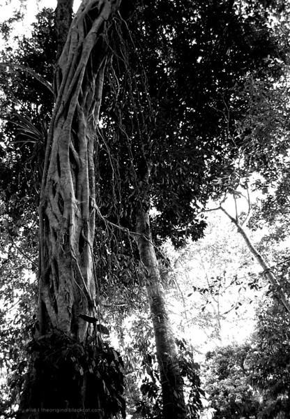 Strangler Tree near Caracol
