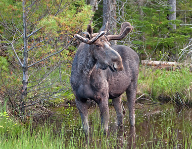 Algonquin Park Male Moose weigh around 1100 pounds. They are smaller than the Alaskan Moose
