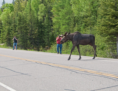 I thought I was going to give out a Darwin award to the crazy photographer who just stood there as this 1000 pound male Moose crossed the road. It could have easily turned in his direction. I was sitting in my car watching to see what was going to happen.