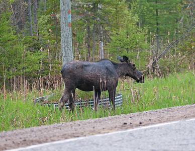 As you can see this guy was just along the road. Some of the Moose were very skittish and would move back into the woods as soon as you slowed down the car. Other Moose were totally indifferent and could be approached as close as you were crazy or dumb enough to try.