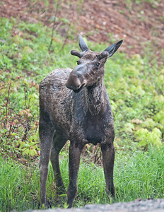 Juvenile Male Moose