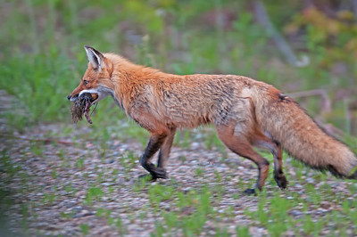 Bringing home breakfast Algonquin Park