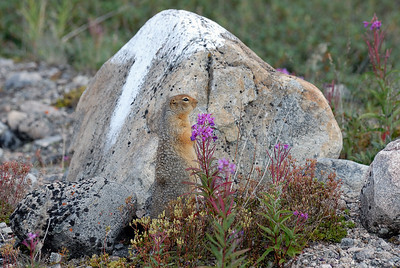 Artic ground squirrel called the Sicsic by the Inuit.
