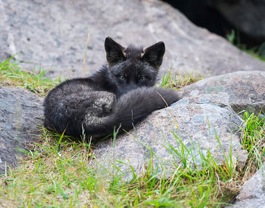 Red Fox kit silver/black morph