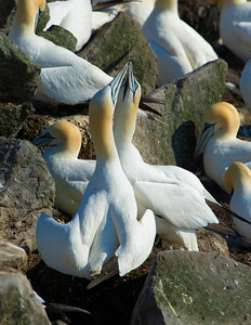Northern Gannets on bird rock at Cape St. Mary's Ecological Reserve