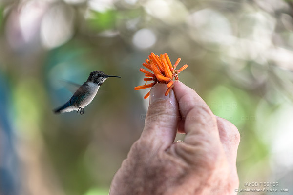 flying hummingbird with orange flower