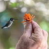 flying hummingbird with orange flower