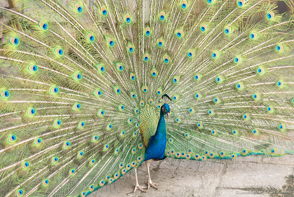 tail of a blue peafowl