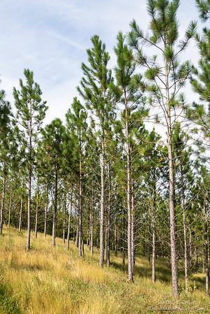 pine trees around the mountains of San Jose de las Matas, Dominican Republic