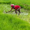 farmer planting rice seeds