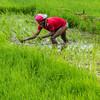 farmer planting rice seeds