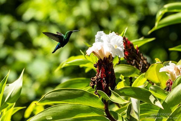 flying colibri