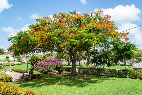Flame tree in a public park