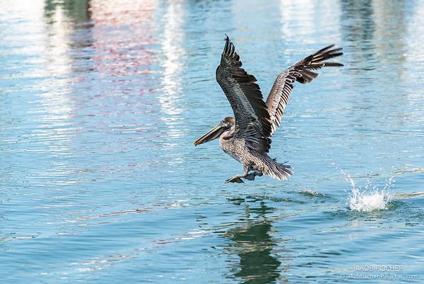 pelican flying in the harbor of Basse-Terre