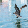 pelican flying in the harbor of Basse-Terre