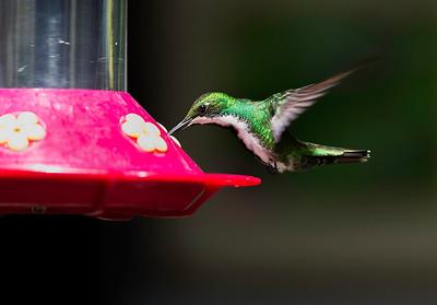 Female Black-throated Mango Hummingbird