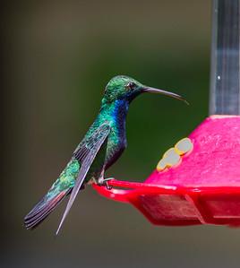 Male Black-throated Mango Hummingbird