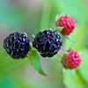 Red and black berries, Channahon Park, Channahon., Illinois