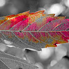 Red orange colored leaf, Channahon State Park, Channahon, Illinois