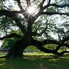Magnolia Cemetery Live Oak