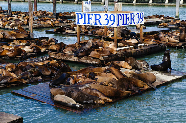 Seals at Pier 39, San Francisco